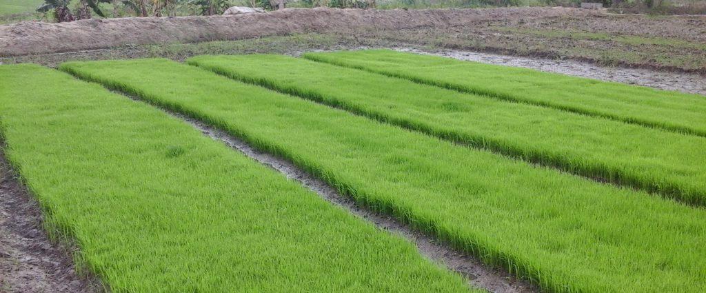 Rice seeding mats nursery